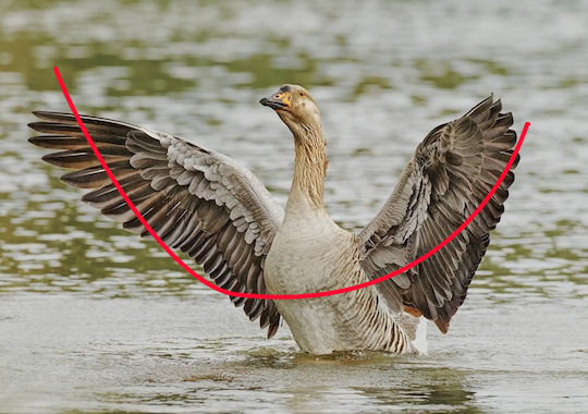 Domestic Goose curved line