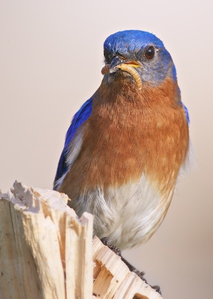 Male Eastern Bluebird with Supper